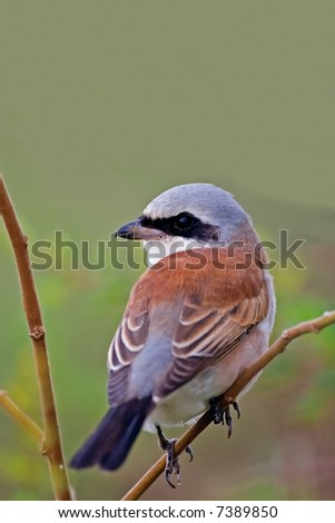 Close-up of Red-backed shrike; Lanius collurio; South Africa