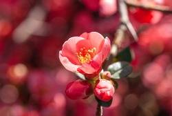 Close-up of red Blossom flowers on the branch. Apple blossom. Flowering crabapple blooms.