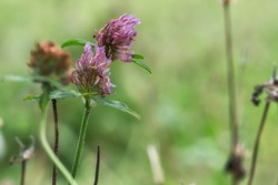 Close up of red clover blossoms that glow pink in the meadow