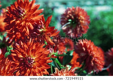 Close up of red dahlia flower. Shallow depth of field #721949515
