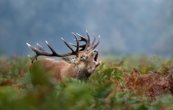Close-up of red deer stag calling during rutting season in autumn, UK