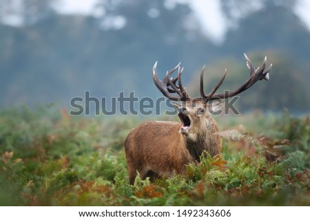 Close-up of red deer stag calling during rutting season in autumn, UK #1492343606