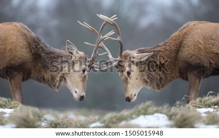Close-up of Red deer stags fighting in winter, UK #1505015948