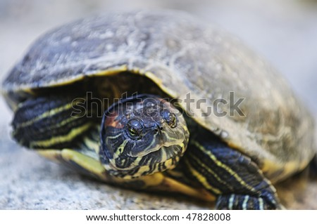 Close up of red eared slider turtle sitting on rock - stock photo