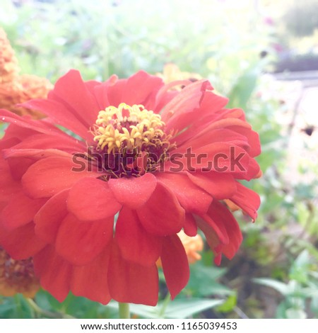 Close up of red flower with many layers #1165039453