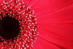 close up of red gerbera flower