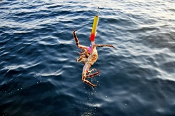 Close up of red king crab fishing in Barents Sea, Big crab pulled from water on fishing line