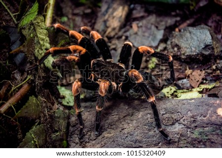 Close-Up of Red-Legged Costa Rican Tarantula in Central American Rain Forest (Arenal Volcano, Costa Rica).