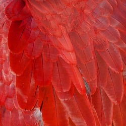 Close up of red Macaw Feathers.