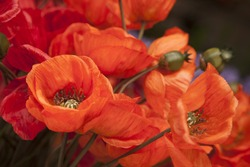Close-up of Red Material Poppies Flowers