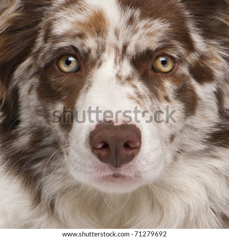 Close-up of Red Merle Border Collie, 6 months old #71279692