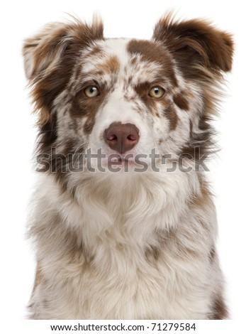 Close-up of Red Merle Border Collie, 6 months old, in front of white background