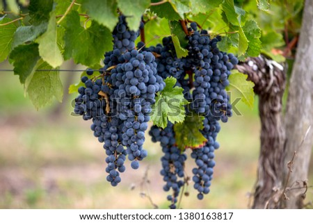 Close up of red merlot grapes in vineyard. St Emilion, Gironde, Aquitaine. France Foto d'archivio ©