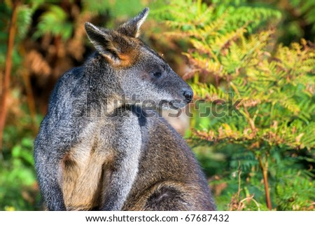 close-up of red-necked wallaby