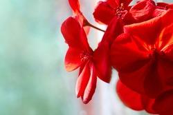 Close up of red Pelargonium. Red geranium flowers in summer garden.  Home red geranium, macro
