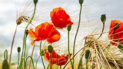 Close-up Of Red Poppies Blooming in a field amongst Bearded Barley near Thirsk, North Yorkshire,UK