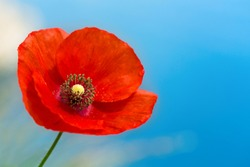 close up of red poppy flower over blue sky