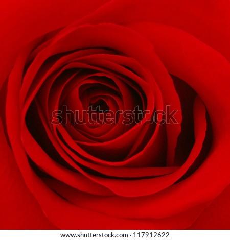 Close up of red rose petal