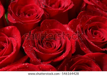 Stock Photo Close up of red roses and water drops.