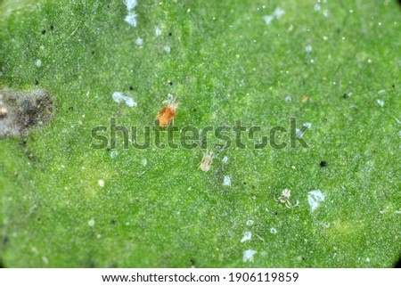 Close-up of Red spider mites (Tetranychus urticae) on leaf. Visible exuviae, eggs, faeces, cobwebs and damaged plant cells. It is a species of plant-feeding mite a pest of many plants. Stock photo ©