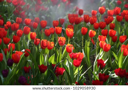 Close up of Red Tulips Blooming in Floral Garden