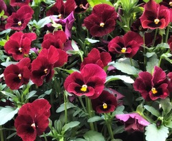 Close up of Red viola flowers,pansy flowers,spring flowers,in Germany,