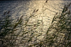 Close up of reeds near a lake. Lake is reflecting the sunset.