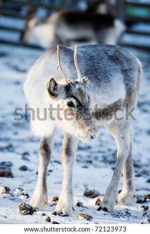 Close up of reindeer with selective focus