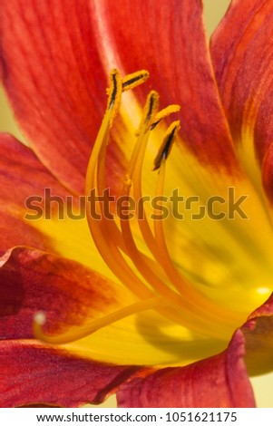 Close up of reproductive organs pistil and stamen of a daylily #1051621175