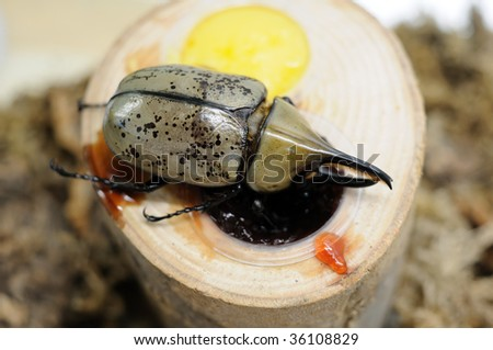Close up of Rhinoceros beetle