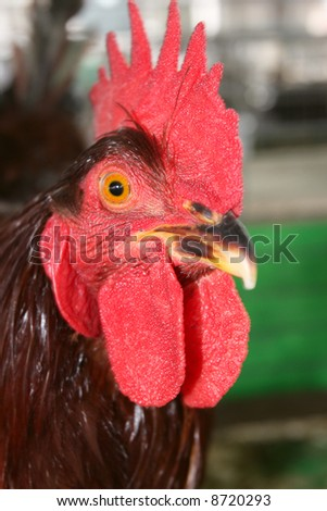 Rhode Island Red. Rhode Island Red Rooster