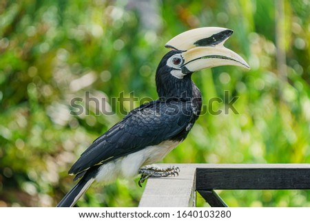 Close-up of 0riental pied hornbill (Anthracoceros albirostris) is an Indo-Malayan pied hornbill, a large canopy-dwelling bird belonging to the family Bucerotidae.