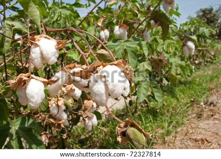 "Close-up of Ripe cotton bolls on branch ""ocucaje"" Ica Peru"