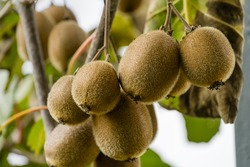 Close-up of ripe fruit of Kiwi (Actinidia chinensis or deliciosa), kiwifruit or Chinese Gooseberry. Beautiful kiwi on branches with leaves in Sochi orchard.