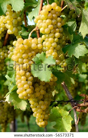 Close-up of ripe golden grapes hanging in the sunlight