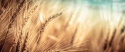 Close-up Of Ripe Golden Wheat With Vintage Effect, Clouds And Sky - Harvest Time Concept