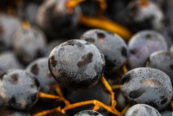 Close up of ripe grapes, background of grapes.