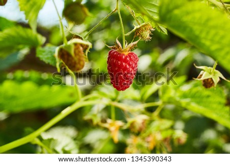 Close-up of ripe organic raspberry hanging on a branch in the fruit garden #1345390343