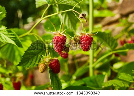 Close-up of ripe organic raspberry hanging on a branch in the fruit garden #1345390349