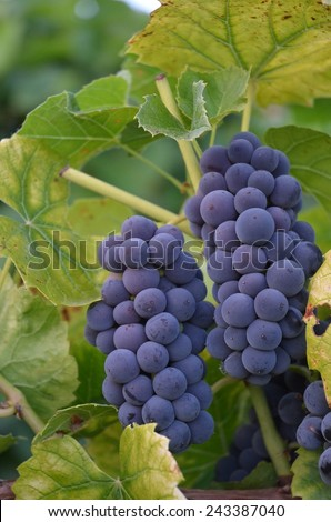 Close up of ripe, purple grapes hanging on green vines./Purple grapes growing on green vines