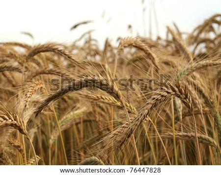 close up of ripe wheat