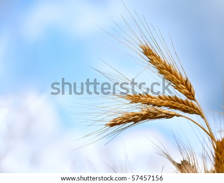 Close up of ripe wheat ears against beautiful sky with clouds. Selective focus.
