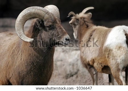 Close-up of Rocky Mountain Bighorn Sheep in large zoo, captive setting (adult Ram on left, shallow focus).