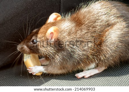 close up of rodent tame pet rat eating cake outdoor