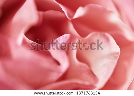 Close-up of rose in soft light, soft-focus in the for- and background. #1371763154