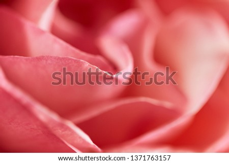 Close-up of rose in soft light, soft-focus in the for- and background. #1371763157
