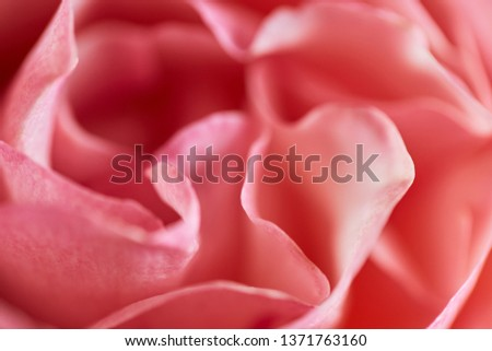 Close-up of rose in soft light, soft-focus in the for- and background. #1371763160