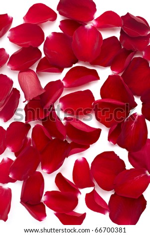 close up of  rose petals  on white background