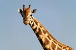 Close-up of Rothschild's giraffe at Murchison Falls National Park in Uganda