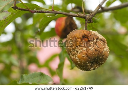 close up of rotten apple with...